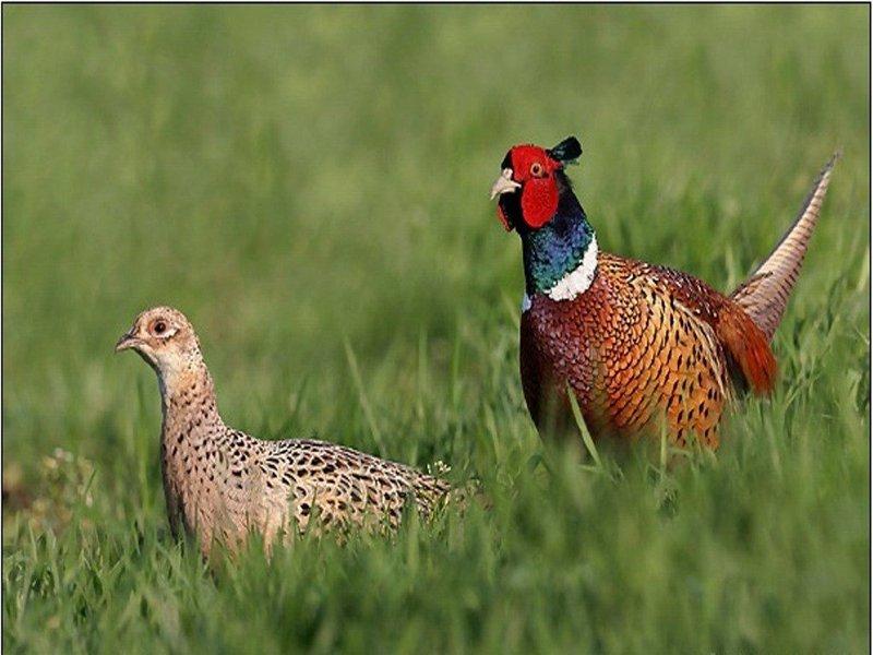 Випустивши фазанів на волю, мисливці не полишають птахів напризволяще
