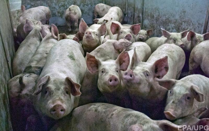 Африканська чума свиней - не виліковується. Але для людей ця хвороба безпечна