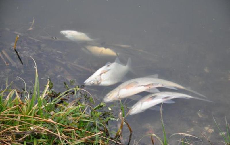 На Збручі масово загинула риба