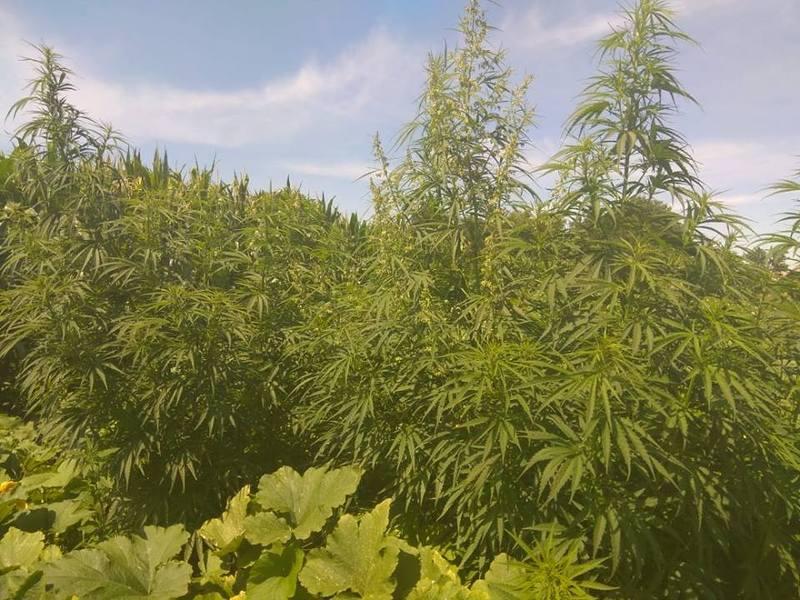 Рослини виявили на земельній ділянці місцевої жительки