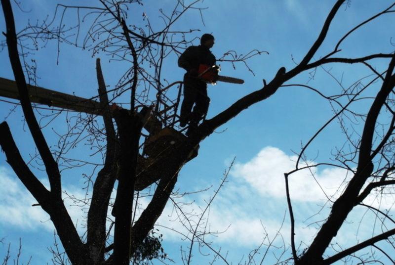 У провулку Військоматському комунальники омолоджуватимуть дерева
