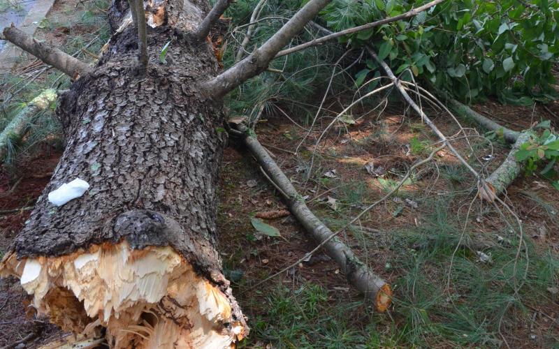 Дерево впало на жінку у Ружичанці Хмельницького району