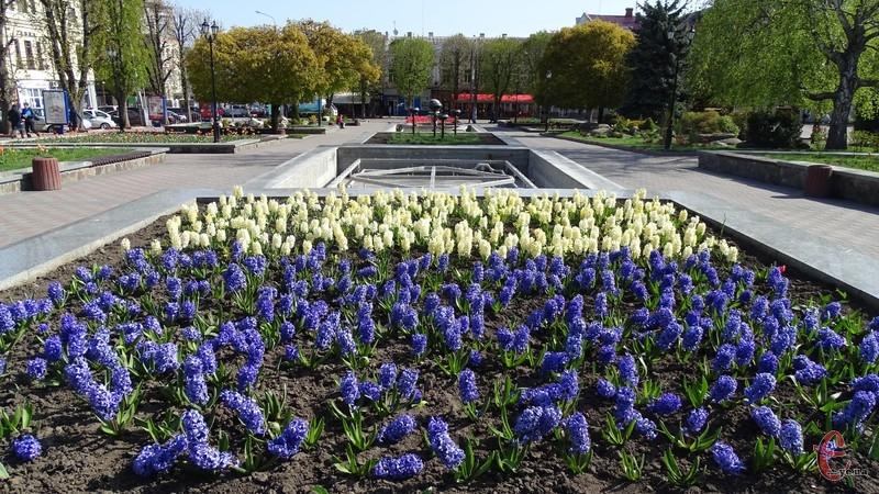 Наразі в парку імені Тараса Шевченка ростуть ароматні гіацинти