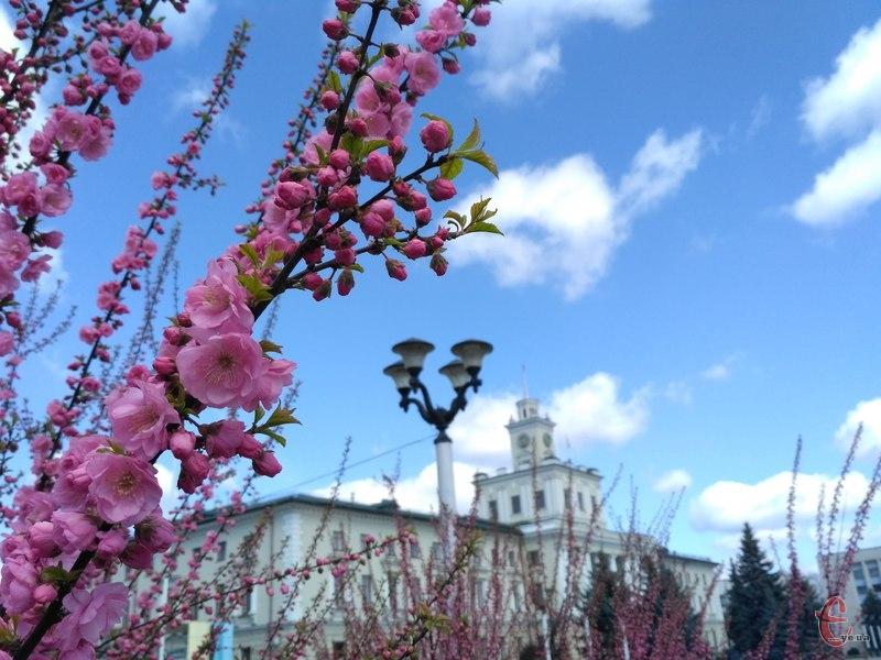 На майдані Незалежності почала цвісти сакура
