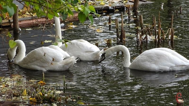 Лебедів витягли із забрудененої води