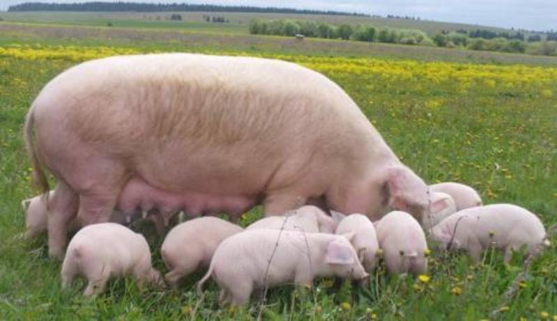 Станом на 23 жовтня на території зони захисту у Летичеві нових випадків захворювання свиней не виявили