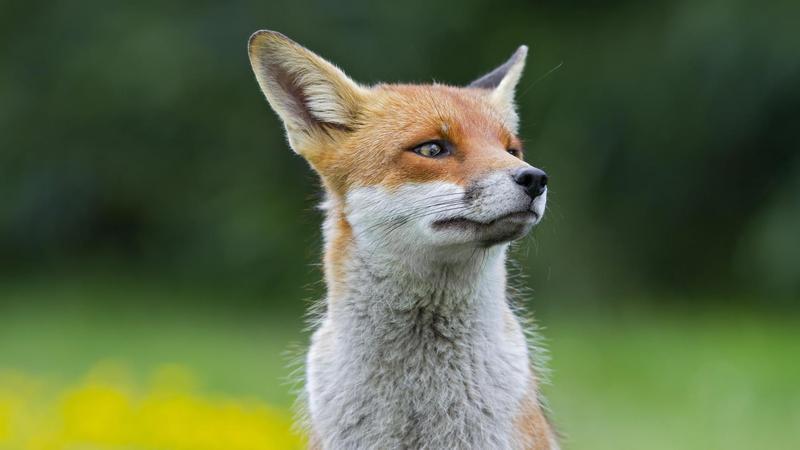 Скаженого лиса більше немає у Нетішині