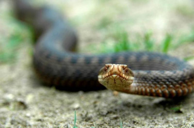 Найпоширеніша отруйна змія в нашій області - гадюка звичайна