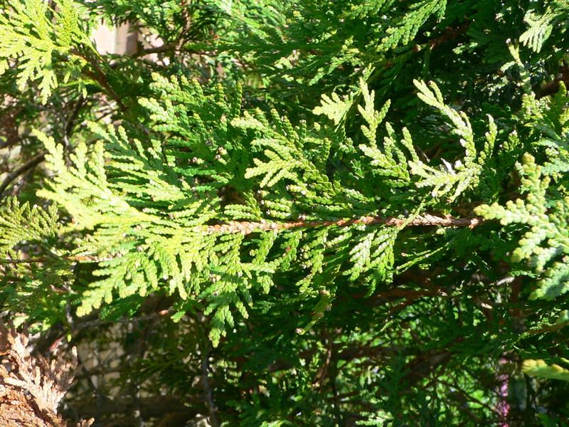 У Славуті посадили 93 туї, але вже наступного дня недорахувалися п'ятьох дерев