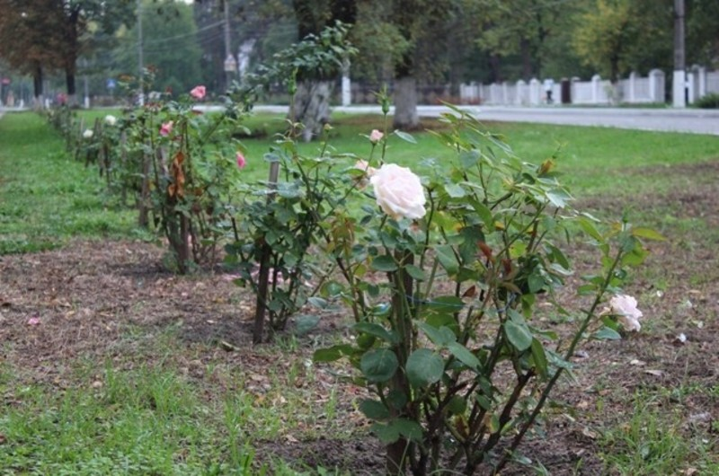 Славутчан закликають спільними зусиллями зберегти міську «Алею пам'яті Героїв Небесної Сотні»