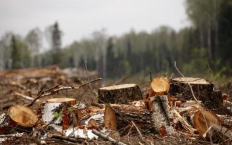 На території Старокостянтинівського району виявлено незаконну рубку дерев