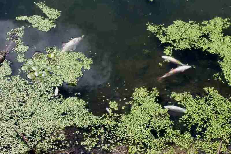 Риба гине у річці Случ Старосинявського району