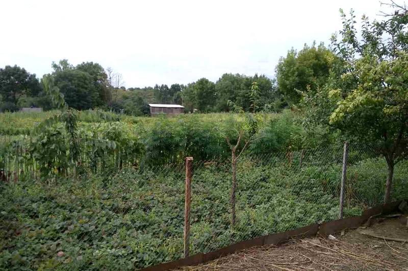 Чоловік вирощував коноплю на присадибній ділянці
