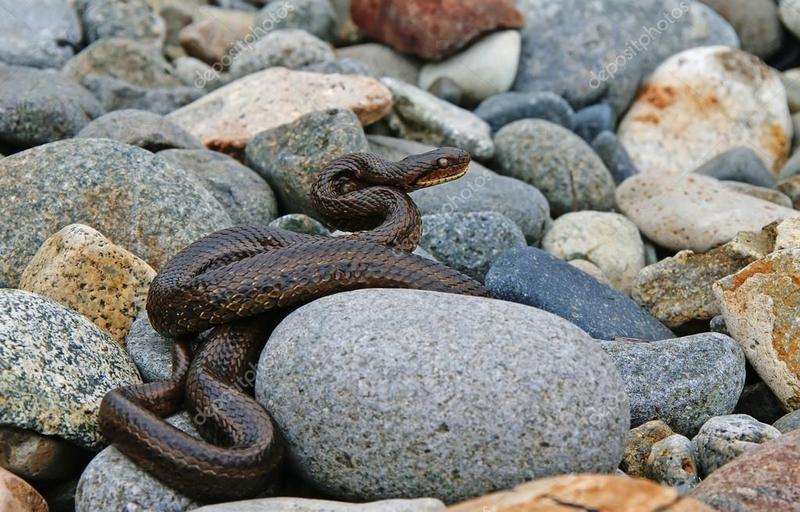 Надзвичайники відпустили упіманих змій в полі