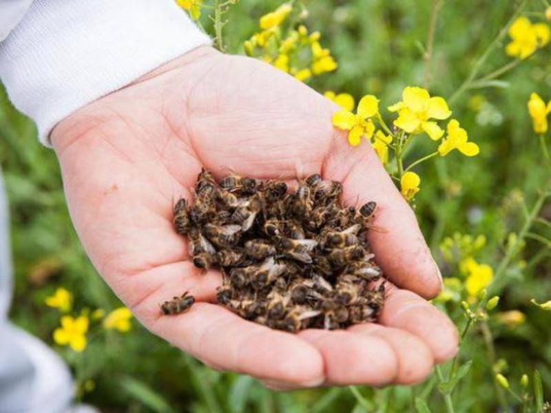 За два дні загинули сотні бджолосімей