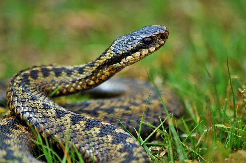 Загалом в Україні є три види отруйних змій