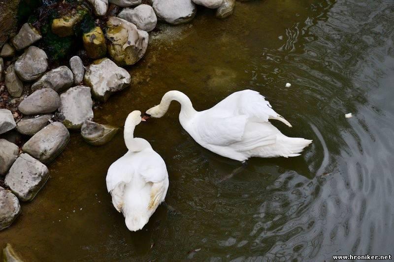 Маленьки лебедят у парку цього року не буде