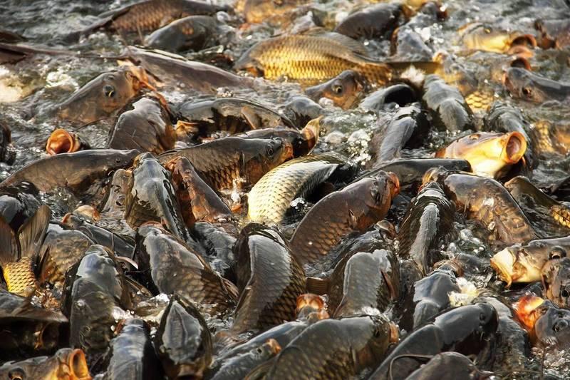 На водосховищі у Теофіполі незабаром стартує зариблення