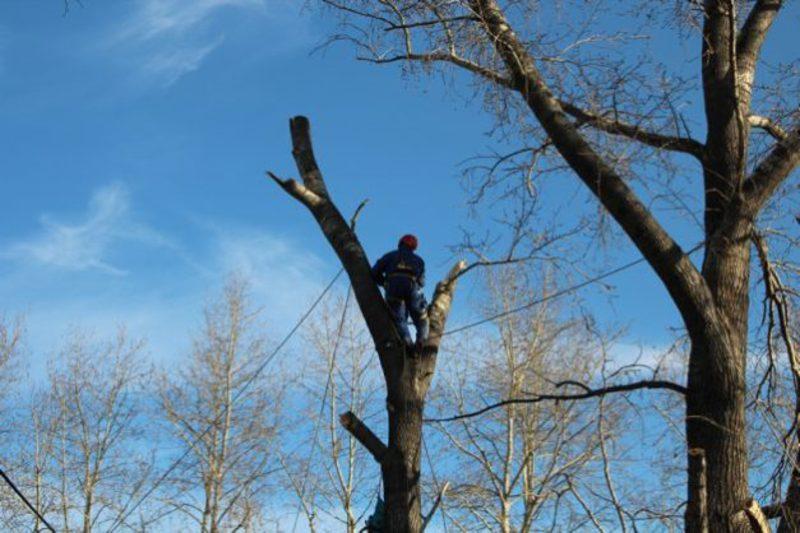 Омолоджуватимуть дерева до 31 січня