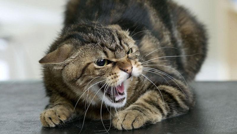 Кіт міг підхопити сказ від мишей