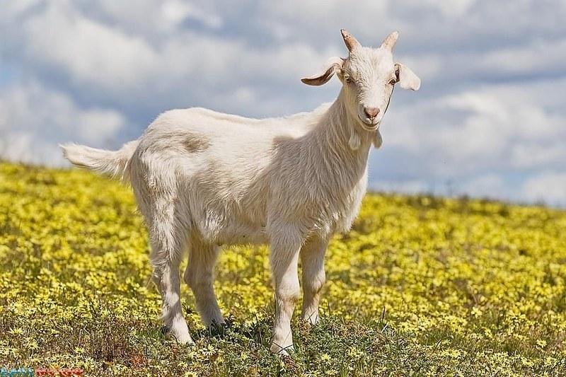 Вкравши козу, чоловік міг опинитися за гратами