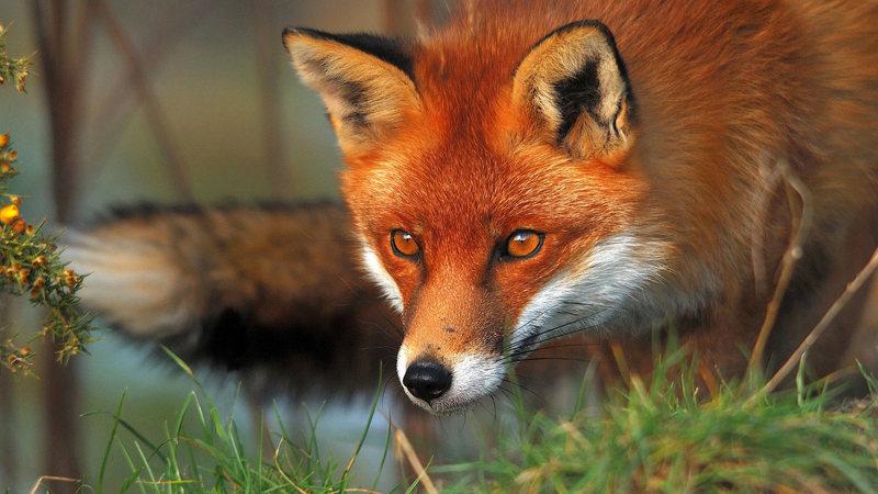 Господар, почувши гавкіт,  побачив, що агресивний лис накинувся на собак