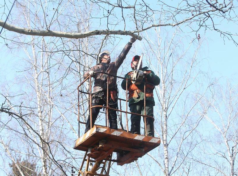 7 грудня на вулиці Хотовицького комунальники зрізатимуть аварійні дерева
