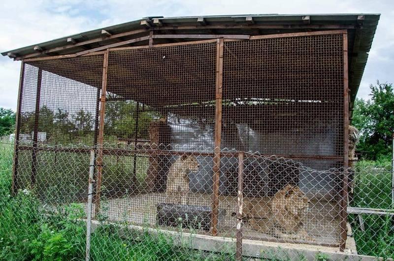 У клітці, де утримують левів, замало місця