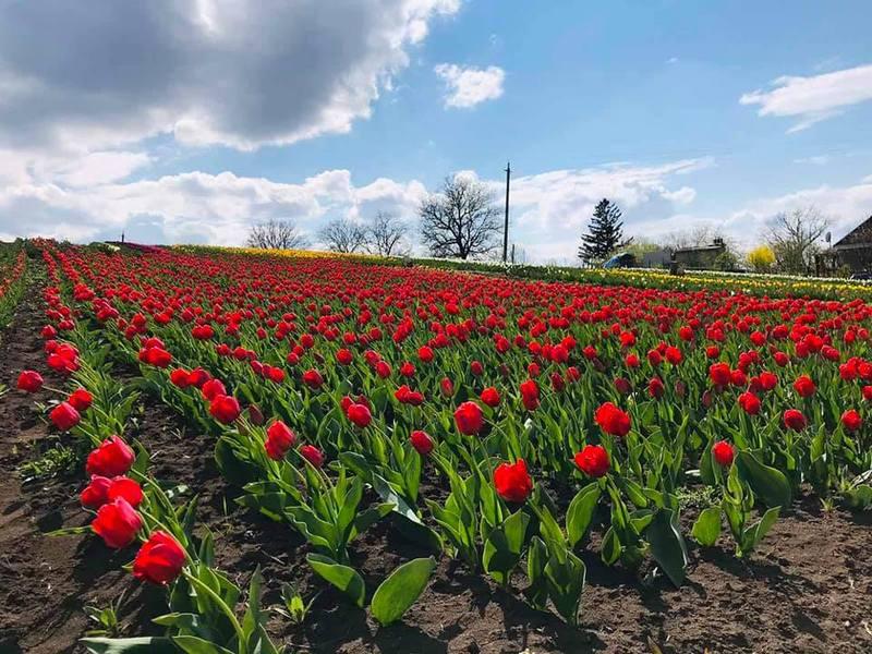 Світлини квітучого тюльпанового поля уже збирають в соцмережах сотні вподобань