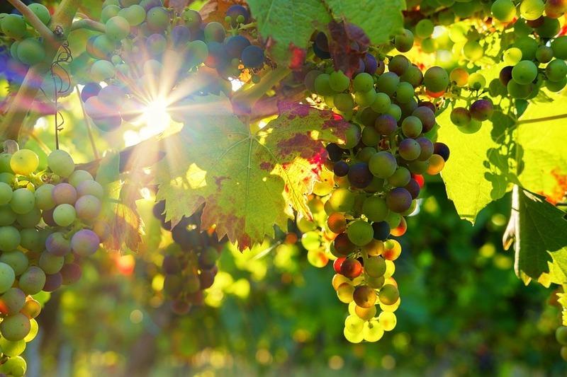 Про виноградарні сади та показові роботи на виноградниках, які відбувалися понад століття тому на Поділлі