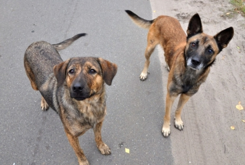 У Славуті відловлюватимуть безпритульних собак