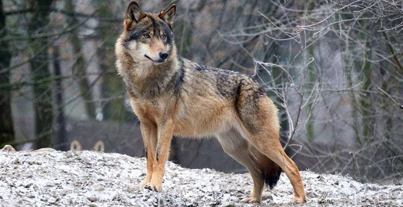 Донедавна, кажуть у селі, про вовків ніхто не чув