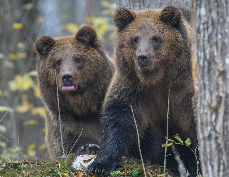 Щоб відчути землю під лапами комусь з ведмедів довелося подолати понад тисячу кілометрів