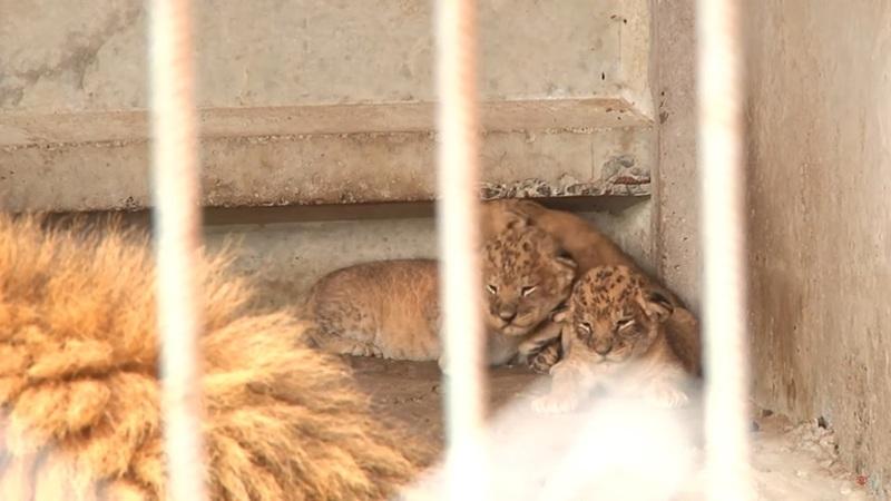 Це вже четверте потомство пари левів - Амура й Тіари, які мешкають у зоопарку