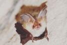 Не п'ють крові й дуже вразливі: які кажани мешкають на Хмельниччині та що про них відомо
