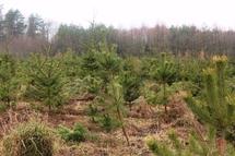 Лісівнки до свят спеціально вирощують плантації ялинок