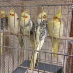 Папуги корелла