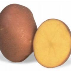 Насіннєва сортова картопля по Україні
