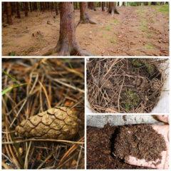 Хвойний (сосновий) опад для посадки лохини