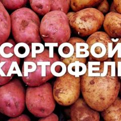 Продаю понад 50 сортів посадкової картоплі. Також є їстівна.