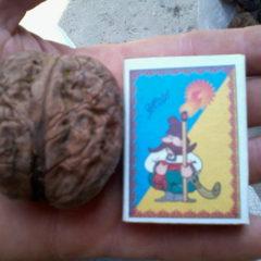 Продам саджанці горіха