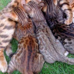 Бенгальські леопардові кошенята