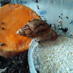 Равлики ахатінів великі масажні