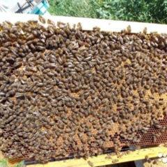 Продаються бджоли та бджолопакети