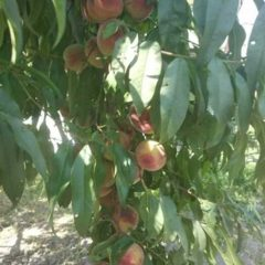Продам саджанці персиків
