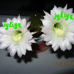 Цвітущі кактуси