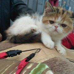 Перські кошенята