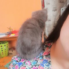 Кошеня блакитного окрасу