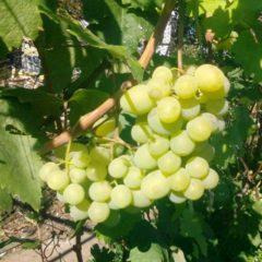 Обрізка дерев, обрізка винограду. Послуги досвідченого садівника