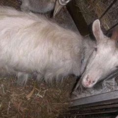 Терміново продам козу